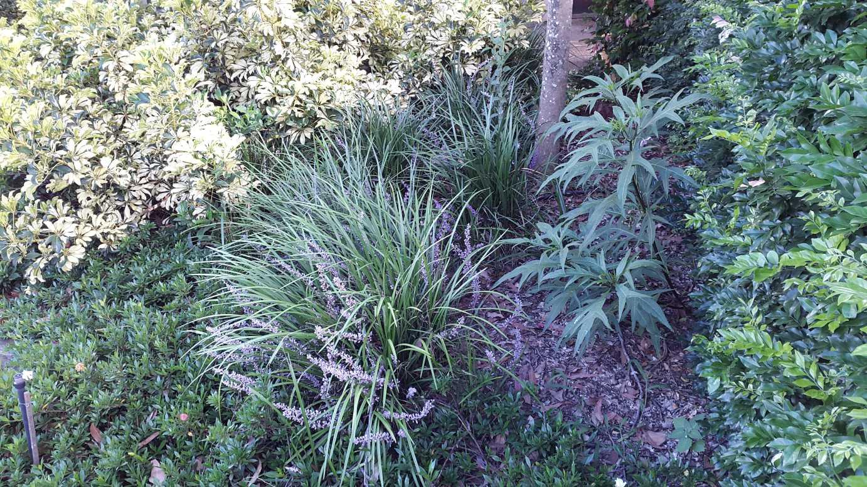 Liriope muscari 'Evergreen Giant' | Alpine Nurseries