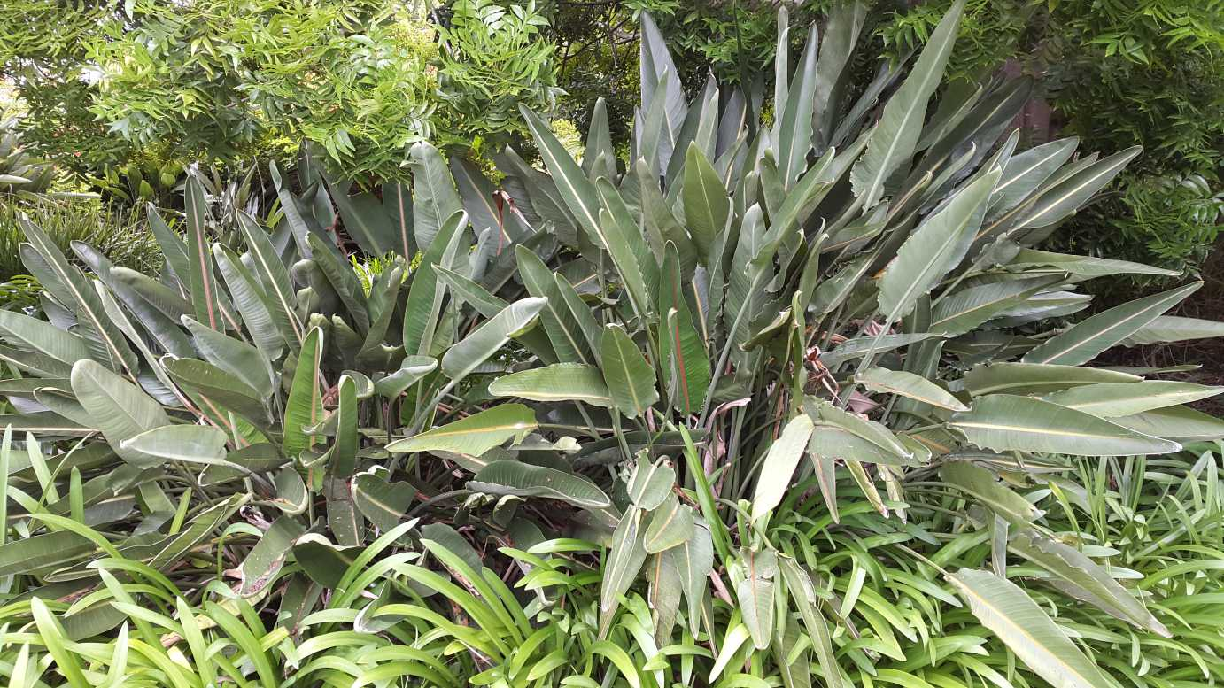 Landscaping Trees Regina : Strelitzia reginae alpine nurseries