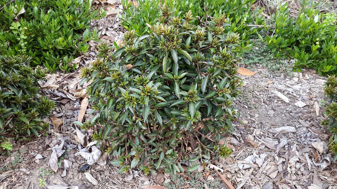 syzygium australe u0027garden lights u0027 pbr alpine nurseries