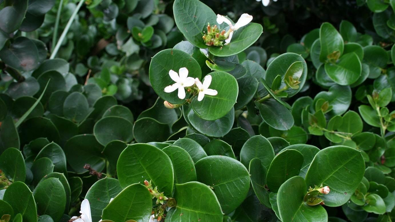 Carissa macrocarpa 'Emerald Star'