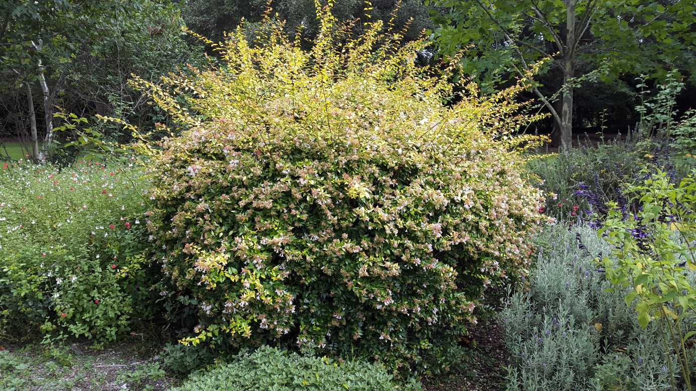 How To Read Dimensions Abelia Grandiflora Francis Mason Alpine Nurseries