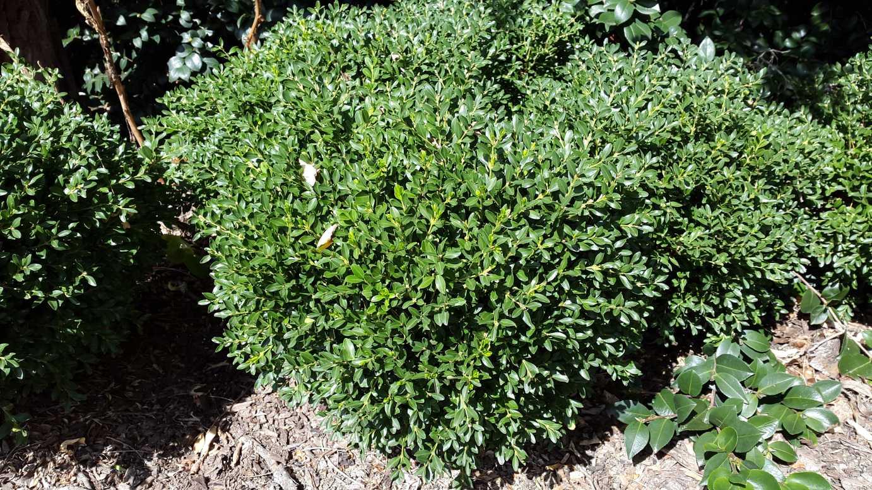 Buxus microphylla var microphylla