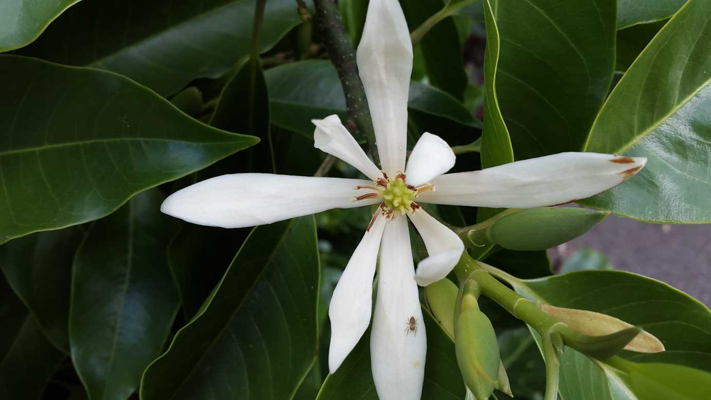 Michelia Alba Alpine Nurseries