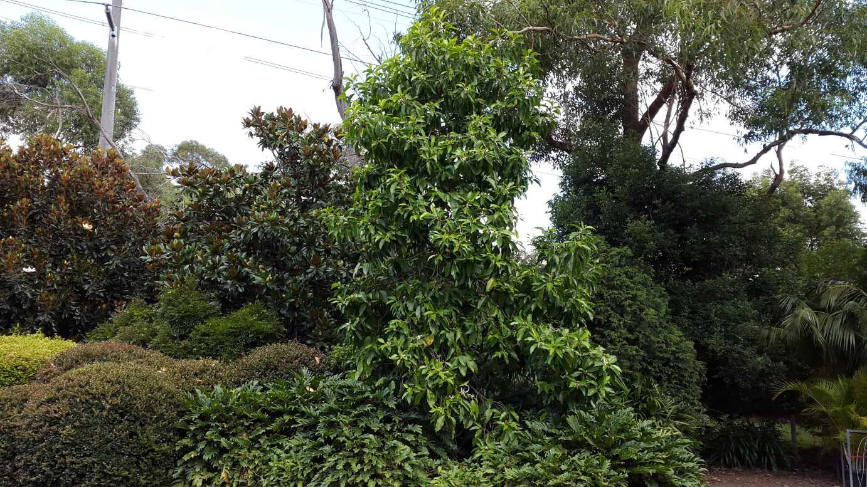 Michelia alba