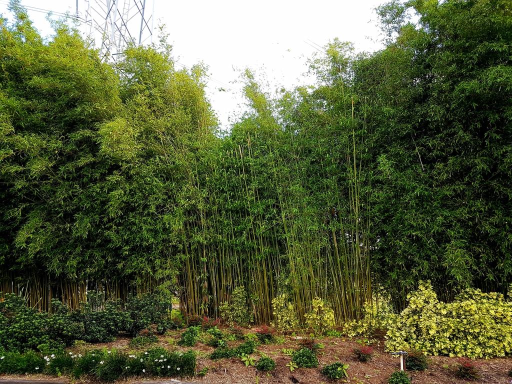 Bambusa textilis Gracilis