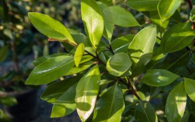Tristaniopsis laurina Luscious PBR