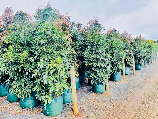 Elaeocarpus Eumundi 'Quondong'