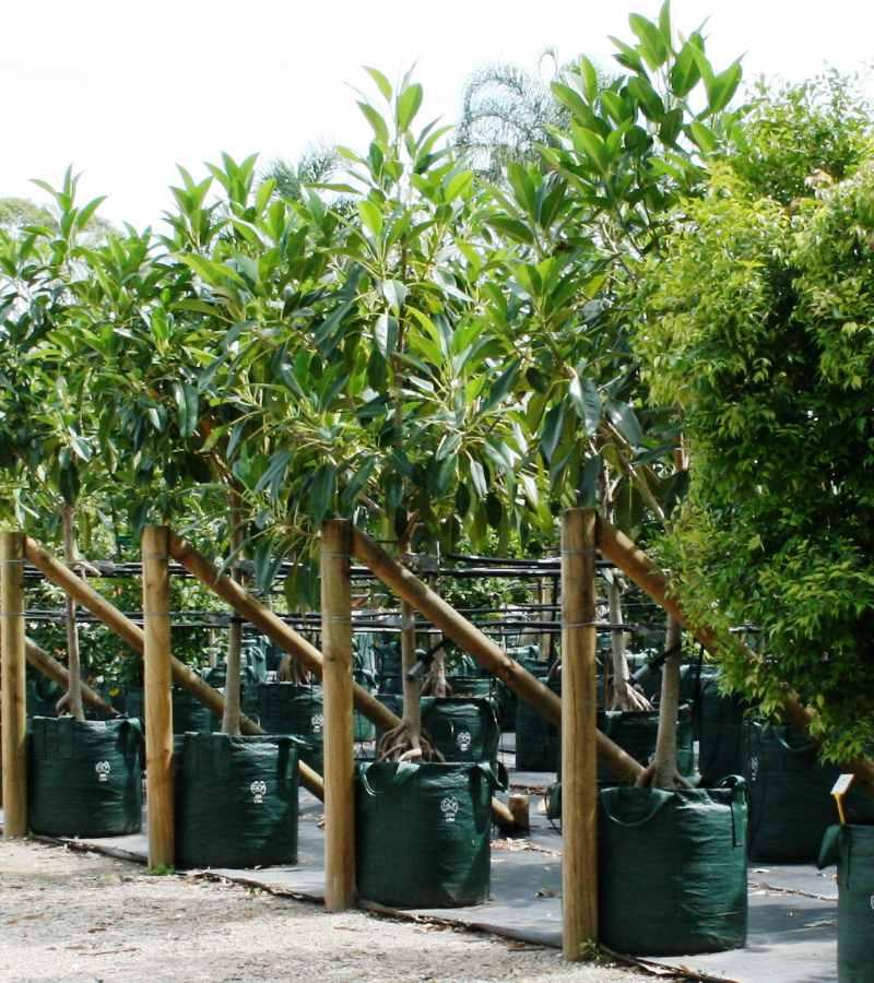 Availability list Ficus rubiginosa
